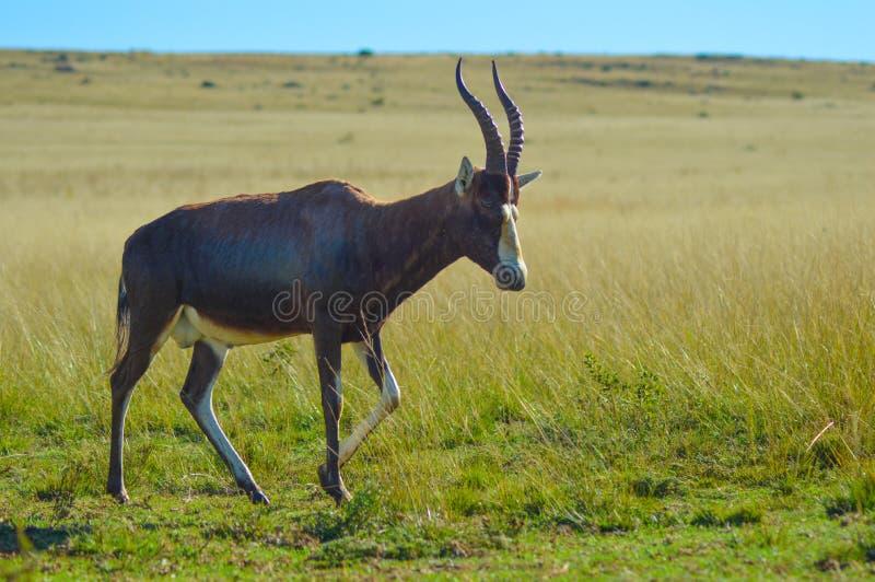 Portret van een gemeenschappelijke lunatusantilope van Tsessebe Damaliscus in het spelreserve Zuid-Afrika van Johannesburg stock afbeelding