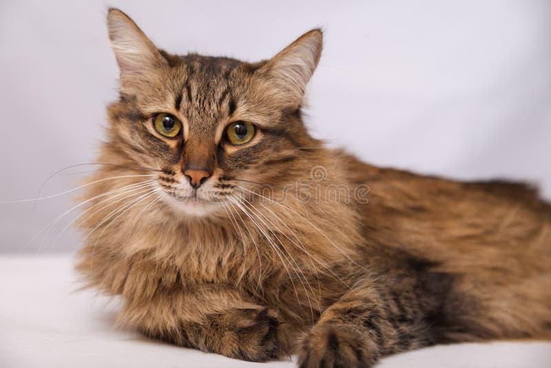 Portret van een gestreepte pluizige kat Grijze gestreepte leuke kat die op een lichte muurachtergrond liggen, close-up stock foto