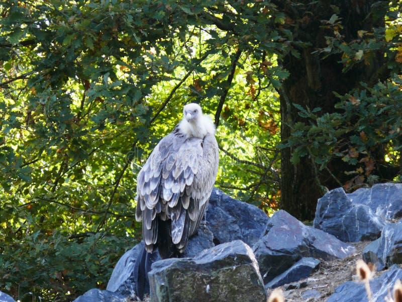 Portret van een getaande gier op zijn rots bij het dierlijke park van Sainte Croix in Moezel stock foto's