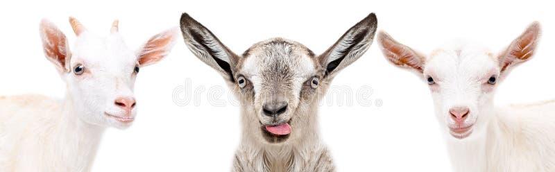 Portret van een grappige geit drie stock foto