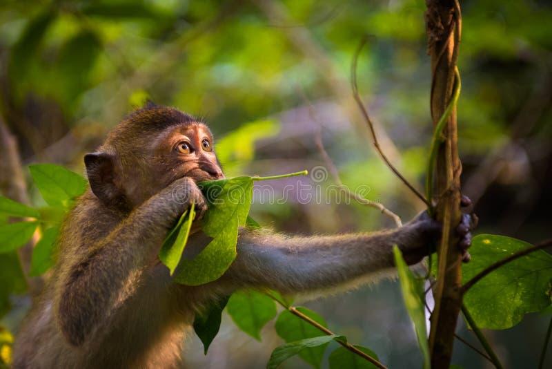 Portret van een grappige macaqueaap in Thailand stock afbeeldingen