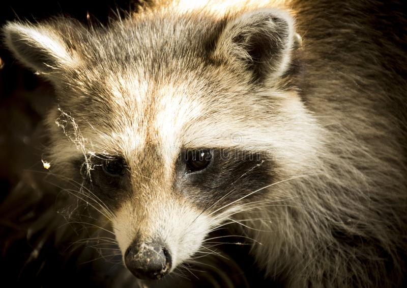 Portret van een grappige wasbeer stock afbeelding