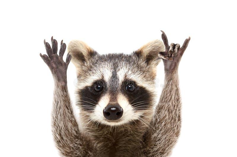 Portret van een grappige wasbeer die een rotsgebaar tonen stock foto's