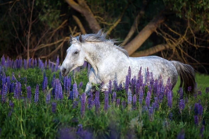 Portret van een grijs paard onder lupinebloemen royalty-vrije stock foto's