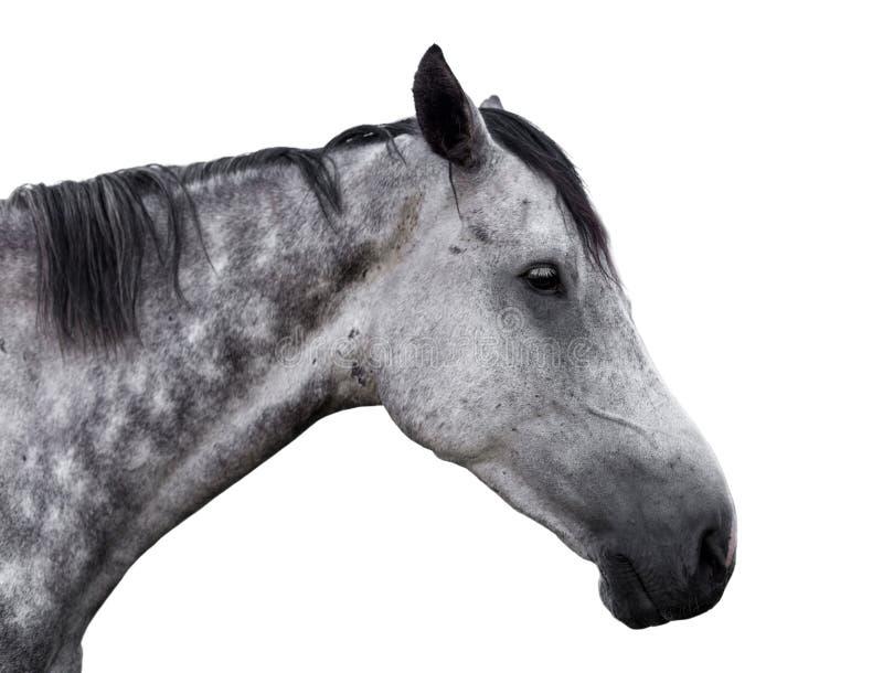 Portret van een grijs paard op een witte achtergrond royalty-vrije stock foto