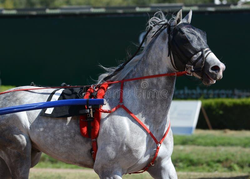 Portret van een grijs ras van de paarddraver in motie op renbaan royalty-vrije stock foto