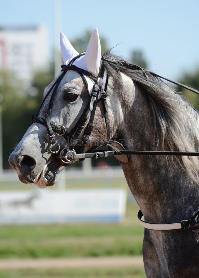 Portret van een grijs ras van de paarddraver in motie op renbaan royalty-vrije stock afbeeldingen