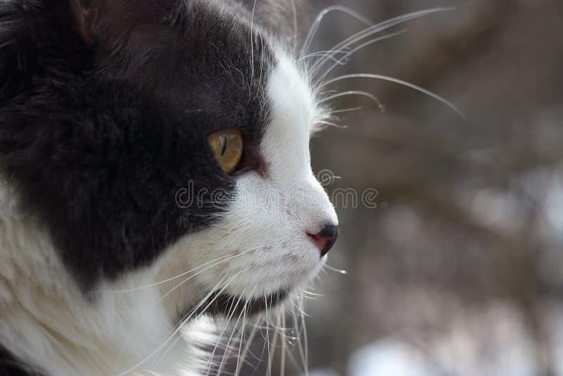 Portret van een grijs-wit kattenclose-up, bokeh achtergrond stock foto's