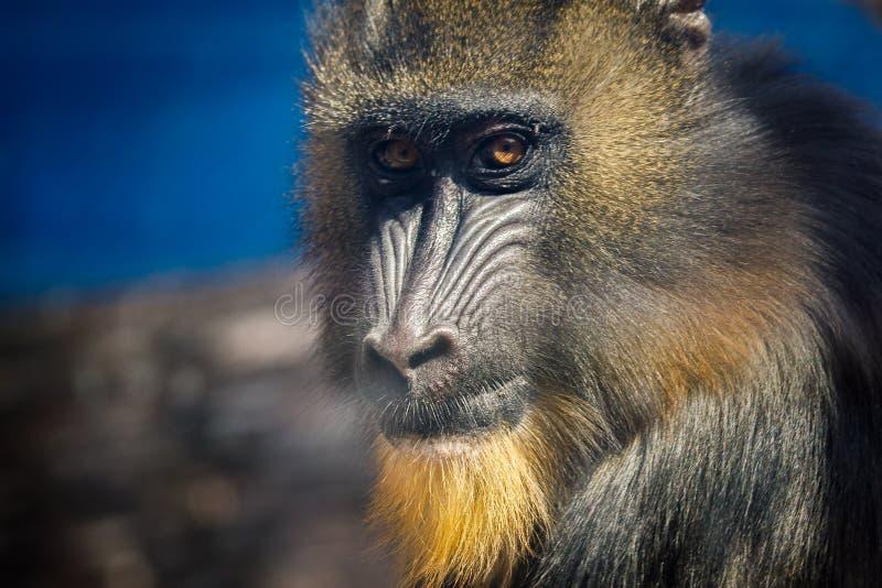 Portret van een hamadryas dichtbij royalty-vrije stock foto's