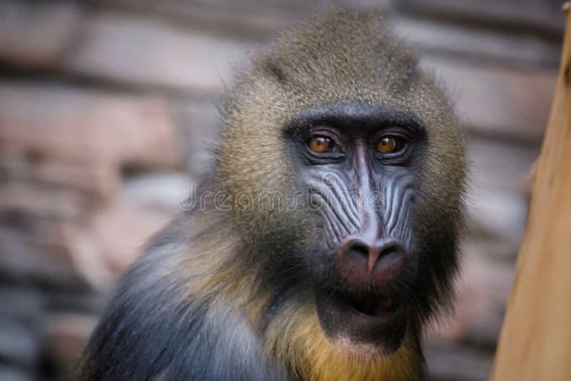 Portret van een hamadryas dichtbij royalty-vrije stock fotografie