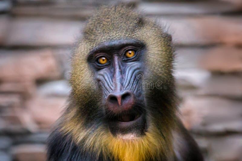 Portret van een hamadryas dichtbij royalty-vrije stock foto