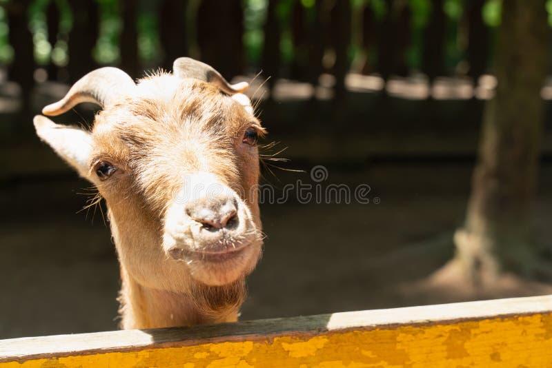 Portret van een heldere Zonnige dag van het geitclose-up landbouwbedrijfdieren en Huisdieren royalty-vrije stock afbeeldingen