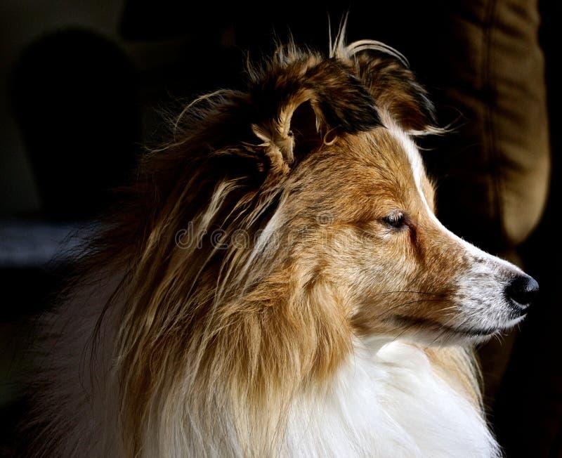 Portret van een Herdershond van Shetland stock foto