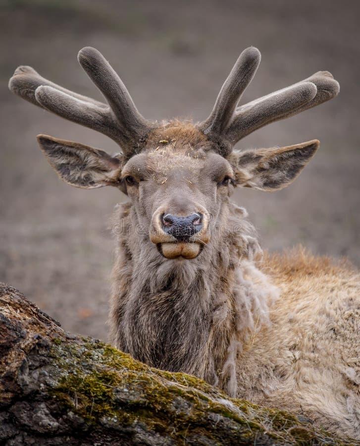 Portret van een hert die dicht bij het bos liggen royalty-vrije stock afbeeldingen