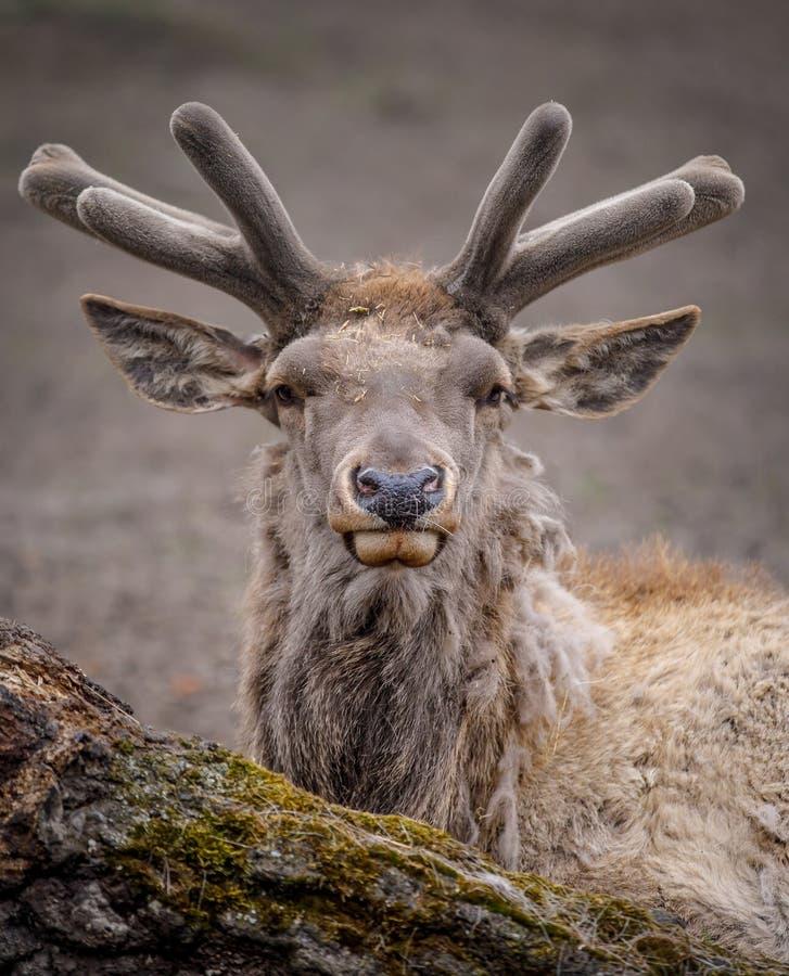 Portret van een hert die dicht bij het bos liggen stock foto
