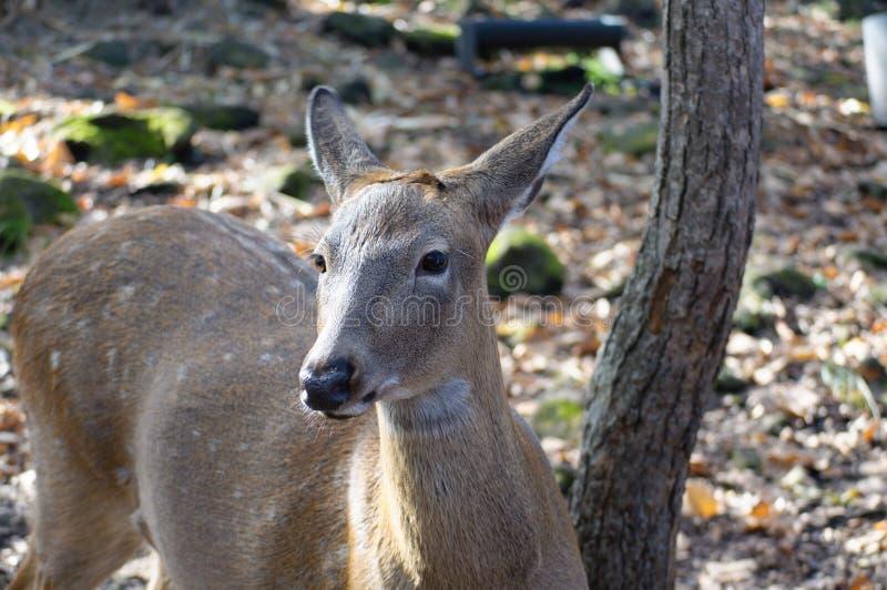 Portret van een hert in het bos stock foto