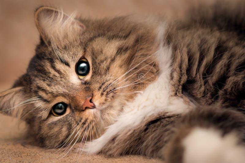Portret van een het liggen pluizige kat met sluwe ogen stock afbeeldingen
