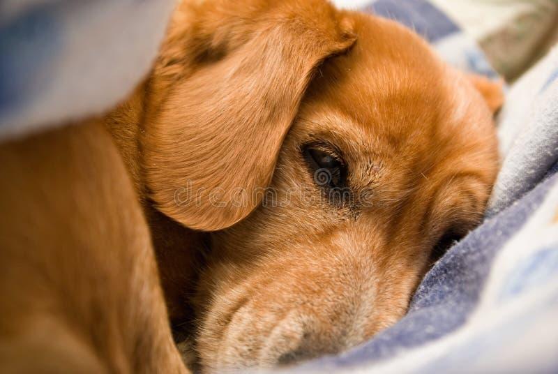 Portret van een hondslaap tussen de bladen stock fotografie
