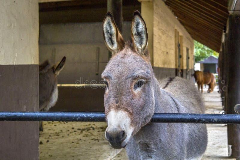 Portret van een hoofd van een ezel die zich in een box bevinden royalty-vrije stock afbeeldingen