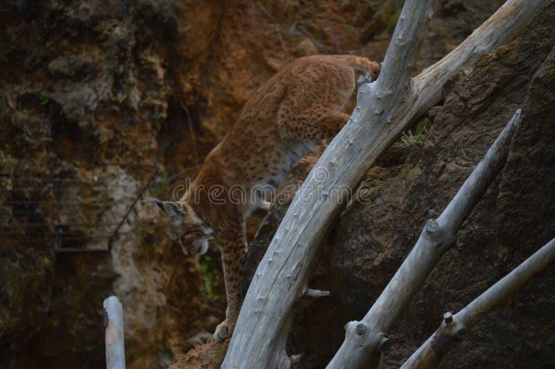 Portret van een Iberische Lynx die van een Boom de het Natuurreservaat Oude Mijn van Cabarceno voor Ijzerextractie dalen 25 augus royalty-vrije stock afbeeldingen