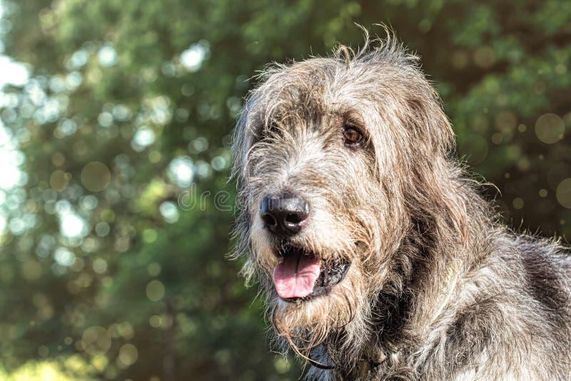 Portret van een Ierse wolfshond op een vage groene achtergrond stock afbeelding