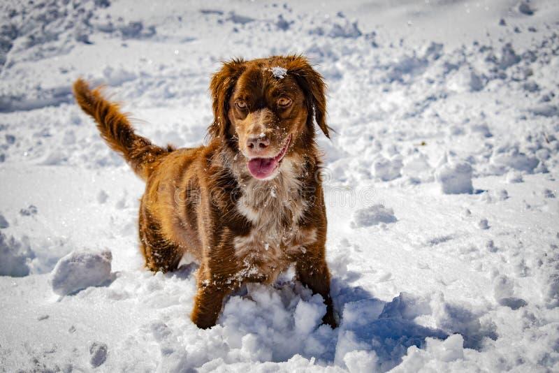 Portret van een jachthond in de sneeuw stock foto