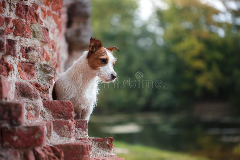 Portret van een Jack Russell-terriër in openlucht Een hond op een gang in het park royalty-vrije stock fotografie