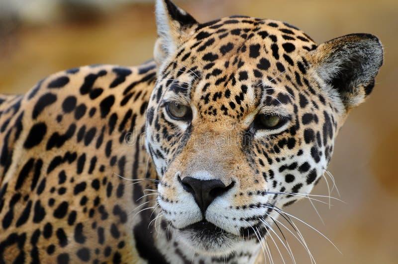 Portret van een Jaguar stock afbeelding
