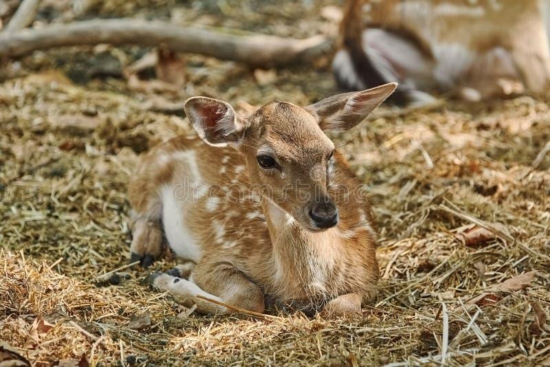 Portret van een jong hert royalty-vrije stock afbeelding