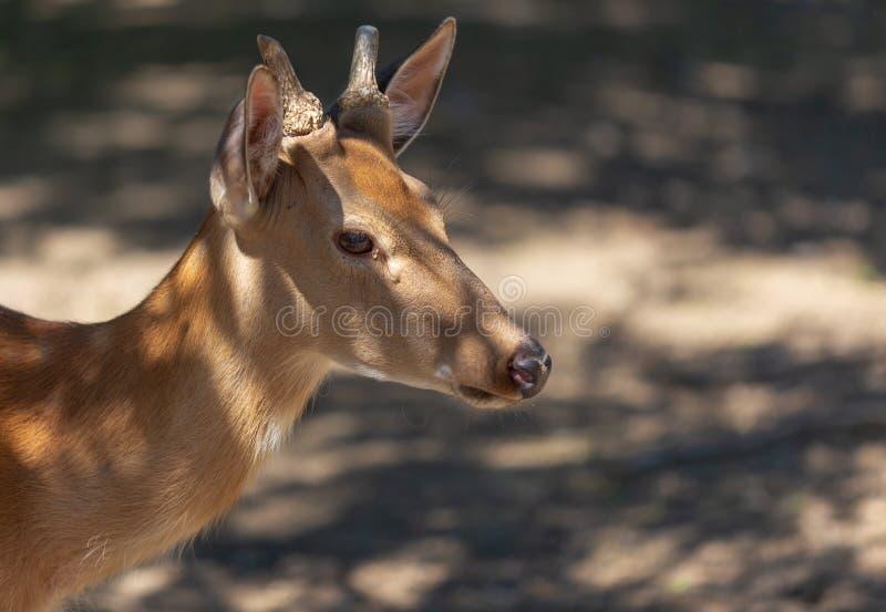 Portret van een jong hert in het park stock afbeeldingen