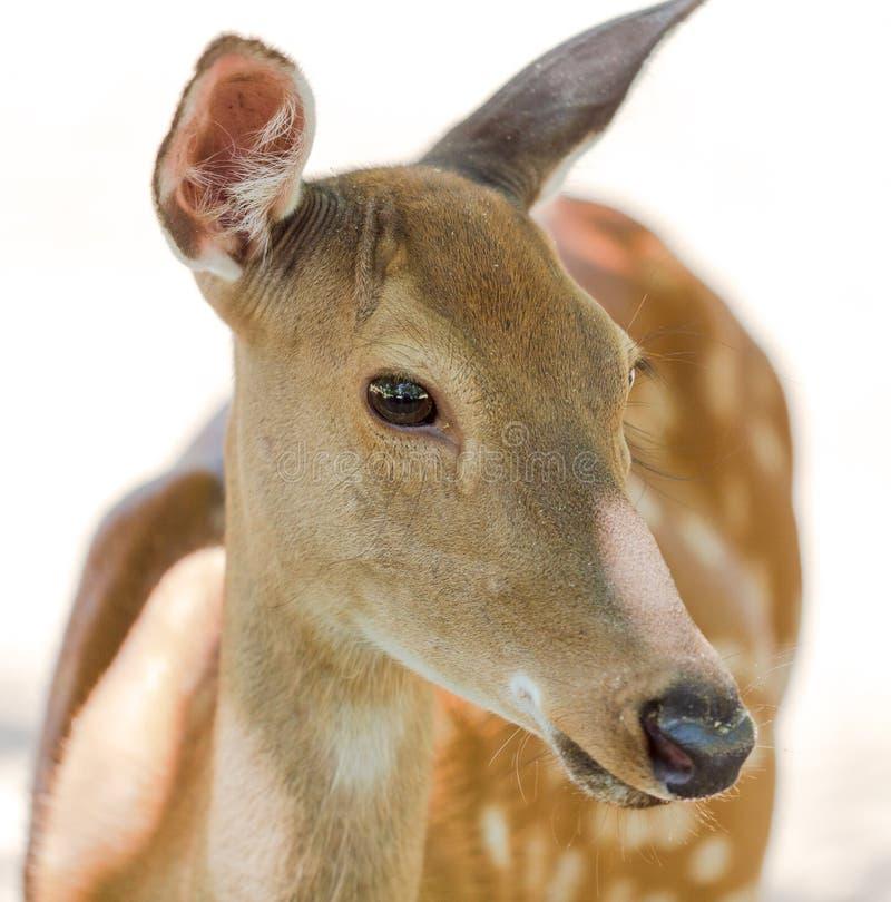 Portret van een jong hert in het park royalty-vrije stock fotografie