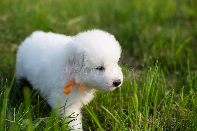 Portret van een jong puppy die van de maremmaherdershond buiten in het gras lopen Leuk wit maremmano abruzzese puppy stock fotografie
