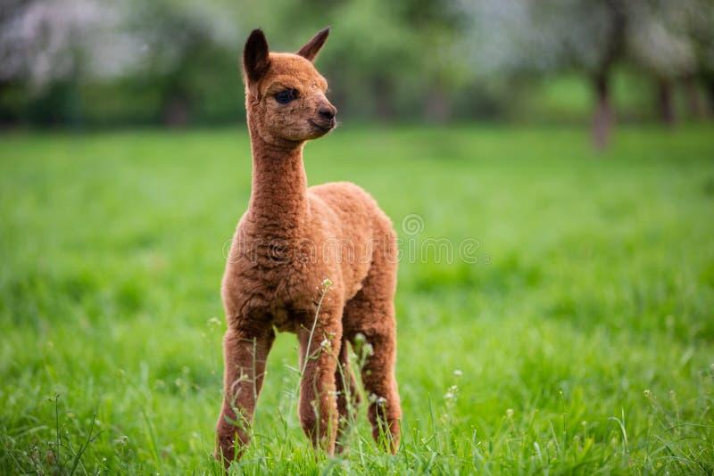 Portret van een jonge Alpaca stock foto