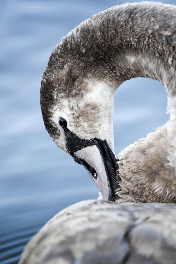 Portret van een jonge grijze zwaan die op een meer in Polen zwemmen stock afbeeldingen