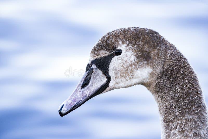 Portret van een jonge grijze zwaan die op een meer in Polen zwemmen royalty-vrije stock afbeelding