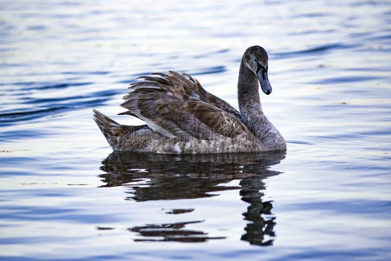 Portret van een jonge grijze zwaan die op een meer in Polen zwemmen royalty-vrije stock foto's