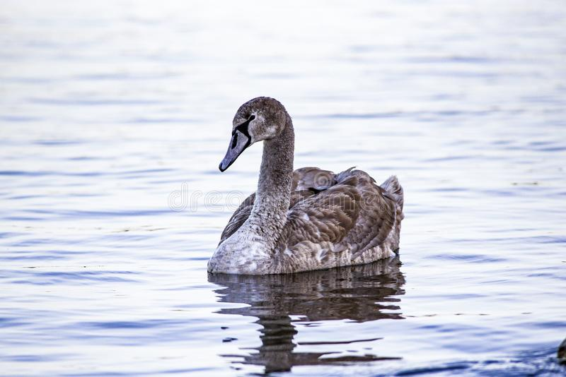 Portret van een jonge grijze zwaan die op een meer in Polen zwemmen royalty-vrije stock afbeeldingen