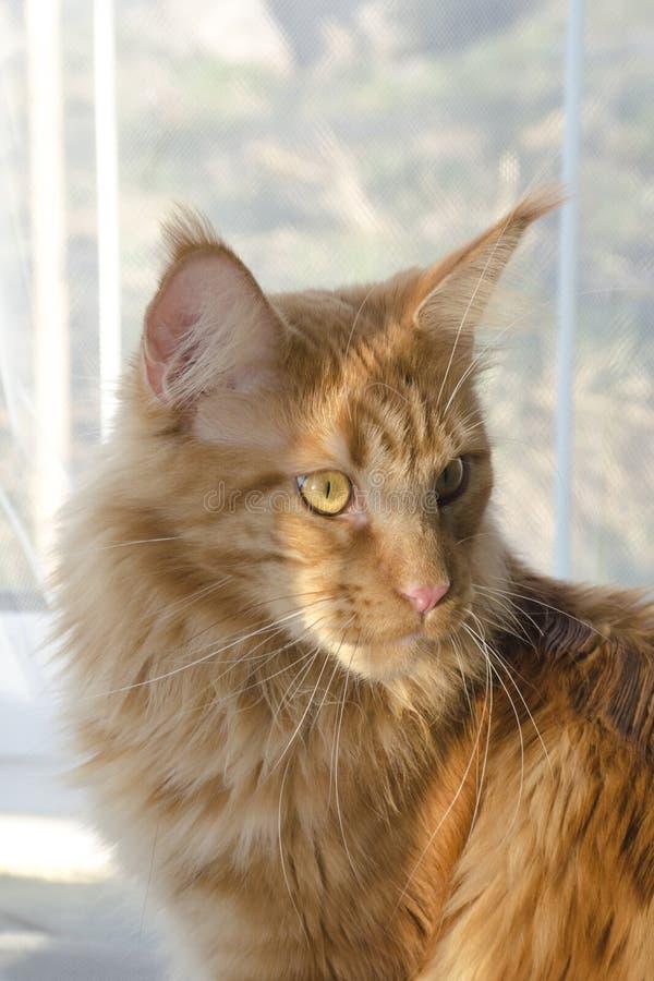 Portret van een jonge grote rode marmeren Maine-wasbeerkat stock foto