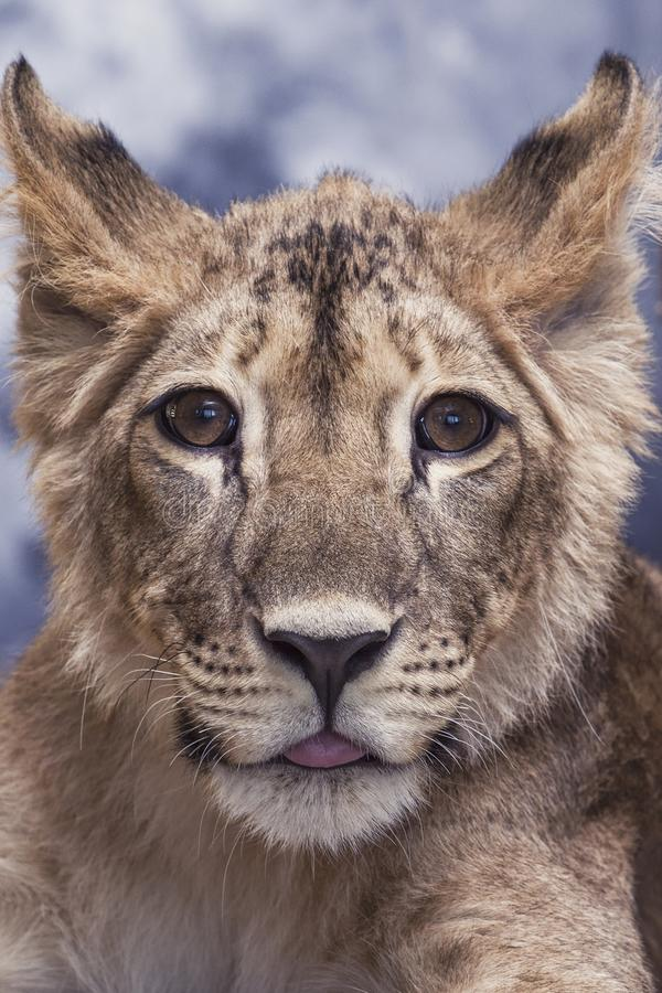 Portret van een jonge leeuwin leuk en grappig weinig royalty-vrije stock afbeeldingen