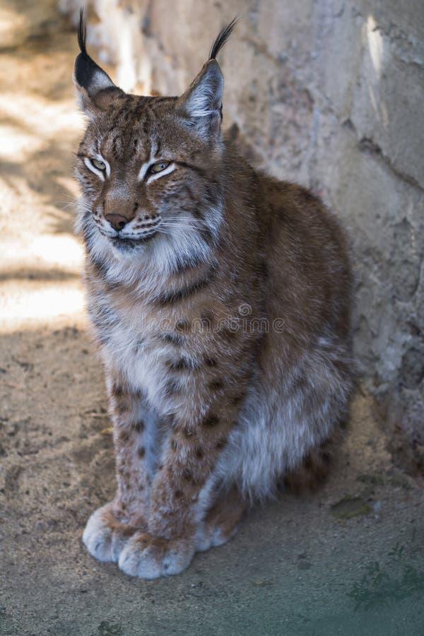 Portret van een jonge lynx bij de dierentuin stock foto's