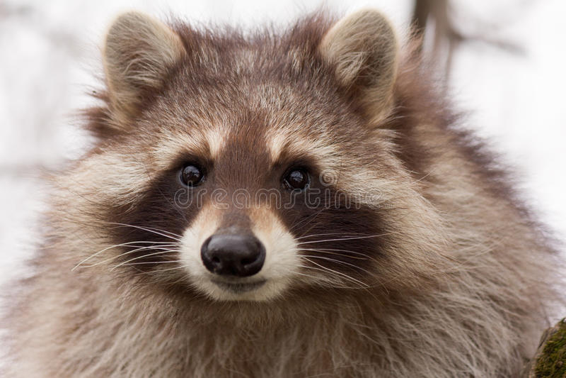 Portret van een jonge wasbeer stock afbeelding