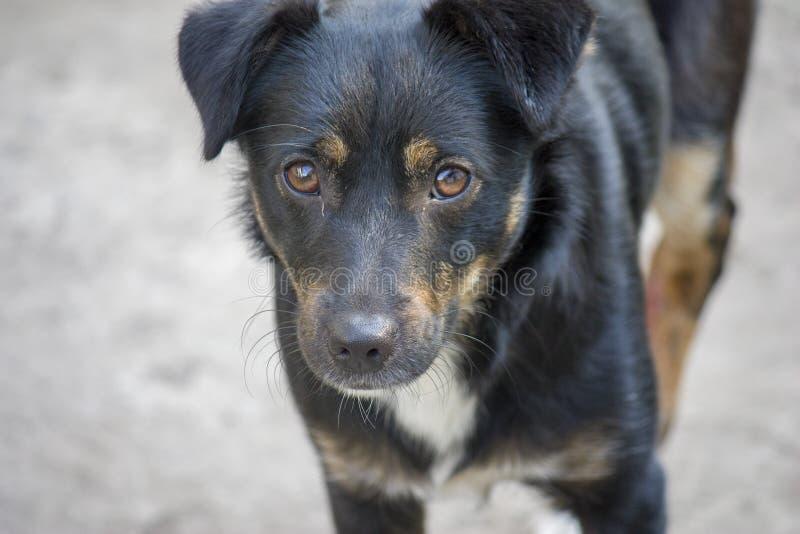 Portret van een jonge zwarte hond die de camera, bastaardsclose-up onderzoekt stock foto