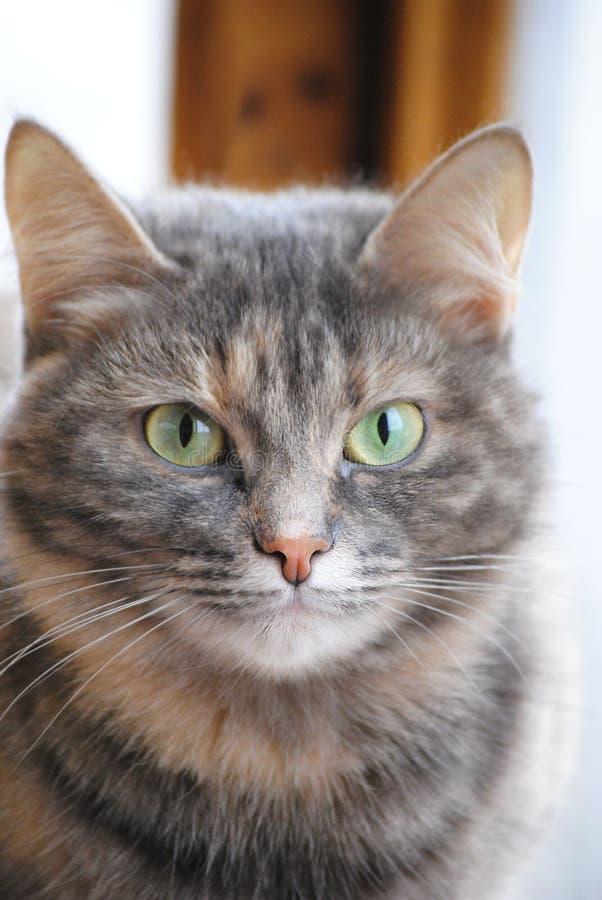 Portret van een kat royalty-vrije stock foto's