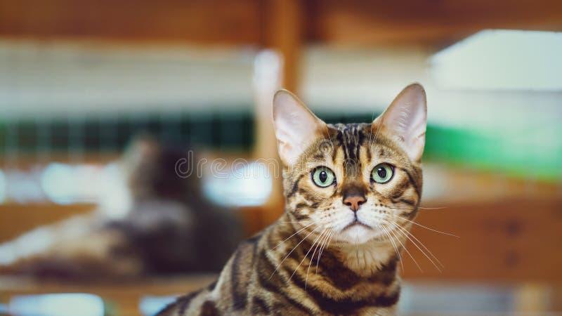 Portret van een kat van Bengalen, kleur zoals een luipaard stock foto