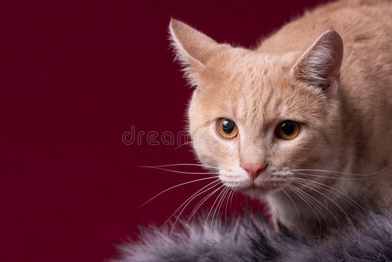 Portret van een kat is er een plaats voor de inschrijving stock afbeelding