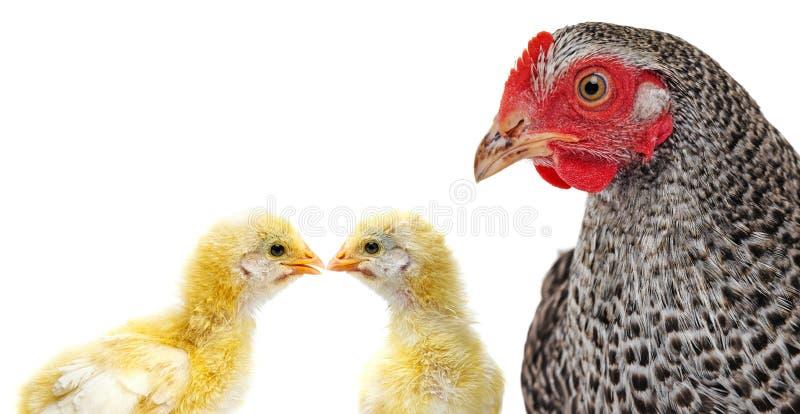 portret van een kip en kippen royalty-vrije stock fotografie