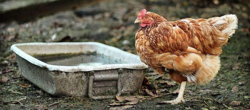 Portret van een kip stock foto