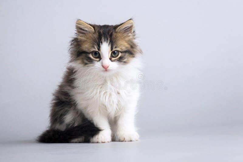 Portret van een klein pluizig katje die direct een grijze studioachtergrond bekijken stock fotografie