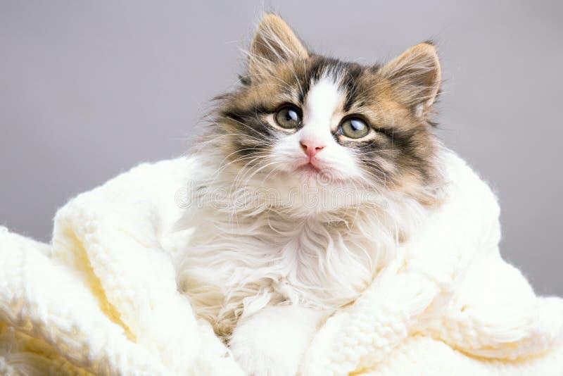 Portret van een klein pluizig katje die en uit een gebreide plaid op een grijze studioachtergrond verbergen turen stock foto's