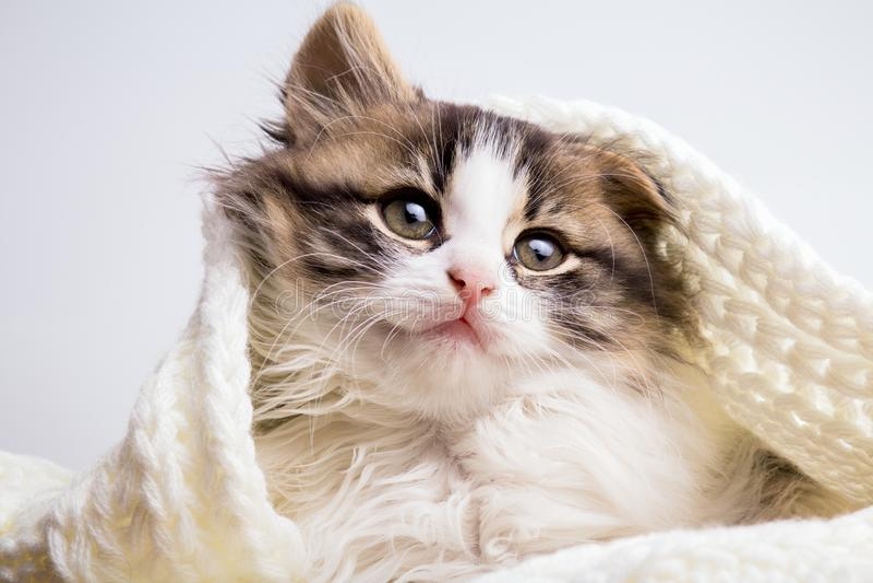 Portret van een klein pluizig katje die en uit een gebreide plaid op een grijze studioachtergrond verbergen turen royalty-vrije stock foto's